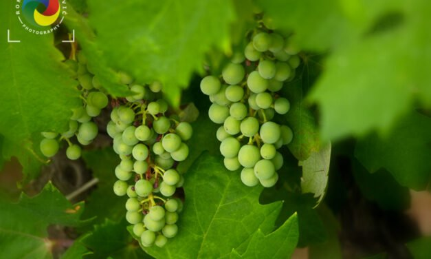 Young green grape